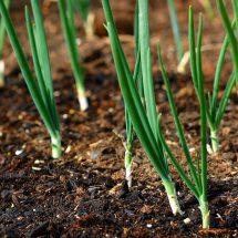 Лук на перо: советы по выращиванию, популярные сорта