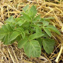 Картофель под соломой. Посадка, выращивание, условия.